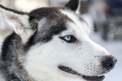 Head shot of a husky dog in Lapland, Finland Stock Image