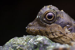 Head shot images of Lizard Royalty Free Stock Photography