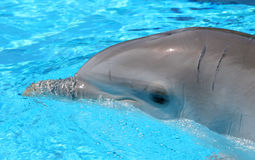 Head shot of injured Dolphin in clear blue waters. Smiling face of a beautiful, happy dolphin in crystal clear blue water during a show royalty free stock photos