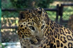 A head shot of  Jaguar while it was insde the cage. Stock Photography