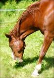 Head Shot Kentucky Mountain Horse Stock Images
