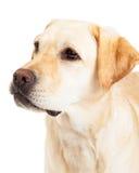Head Shot Of A Labrador Retriever Dog Stock Photos