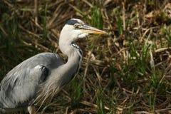 A head shot of a Grey Heron Ardea cinerea. Stock Photos