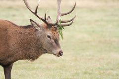 A head shot of a large stag Red Deer Cervus elaphus with bracken on its Antlers. Stock Photo