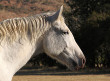 Head Shot of Large White Horse Head Royalty Free Stock Images