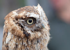 Head shot of little owl Stock Images