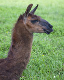 Head shot of a Llama. Head shot of a brown South American llama.  Image includes head and neck in profile.  Field of grass and wildflowers is background Stock Images