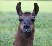 Head shot of a Llama. Head shot of a South American llama.  Llama is facing forward so you can see the distinctive shape of the ears, the long eyelashes, and two Stock Photos