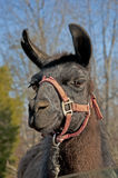 Head shot of a llama in harness. Royalty Free Stock Image