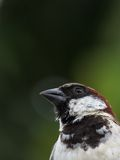 Head shot of Male House Sparrow Royalty Free Stock Image