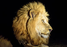 Head Shot of a male Lion at night. Profile of a resting male Lion Stock Images