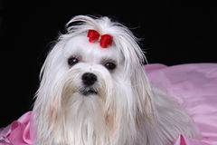 Head shot of Maltese Dog. Head shot of a cute white Maltese dog with red ribbon sat on pink material against a black background Royalty Free Stock Photography
