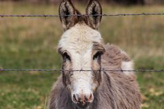 Head shot of a miniature donkey behind fence royalty free stock photo
