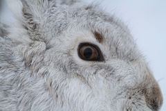 Head shot of a Mountain Hare Lepus timidus  in its winter white coat in a snow blizzard high in the Scottish mountains. Royalty Free Stock Photos
