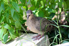 Head on shot of mourning dove. Royalty Free Stock Image