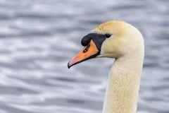 Head shot of a mute swan sygnus olor with water in the background Royalty Free Stock Images