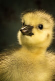 Head shot of a newborn canadian goose Royalty Free Stock Photo
