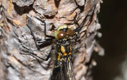 The head shot of a newly emerged rare White-faced Darter Dragonfly Leucorrhinia dubia. Stock Photography