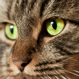 Head shot of Norwegian Forest Cat. Norwegian Forest Cat with green eyes with lots of details in the eyes stock image
