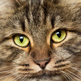 Head shot of  Norwegian Forest Cat Royalty Free Stock Photo
