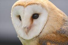 Head Shot Of A Barn Owl Tyto Alba Royalty Free Stock Photos