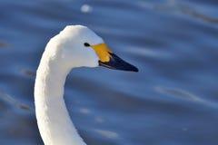 Free Head Shot Of A Tundra Swan Royalty Free Stock Photo - 111668375