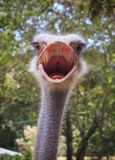 Head shot of an ostrich. Looking at the camera Stock Image