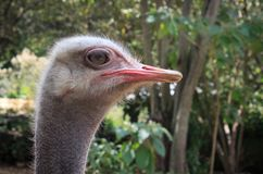 Head shot of an ostrich. Looking at the camera Stock Images