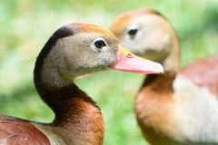 Black bellied whistling ducks. Head shot of a pair of black bellied whistling ducks royalty free stock photography