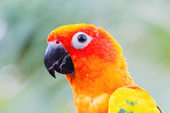 Head shot of parrot, sun conure, on blurred background Royalty Free Stock Photo
