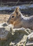 Head Shot of Patagonian Cavy stock images