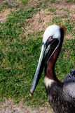 Head Shot of a Pelican Royalty Free Stock Image