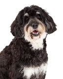Head Shot of Poodle Mix Breed Dog Stock Photo