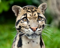 Head Shot Portrait of Beautiful Clouded Leopard. Neofelis Nebulosa Stock Photos