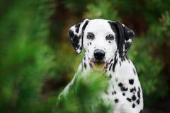 Head shot portrait of Dalmatian dog behind fir-tree. Head shot portrait of Dalmatian dog hiding behind fir-tree Stock Image