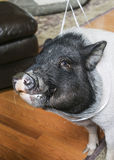 Head shot portrait of a family pig inside Stock Photography