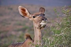 Animals in the Karoo royalty free stock photo