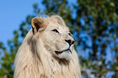 Head Shot Portrait of White Lion against Trees Stock Photos