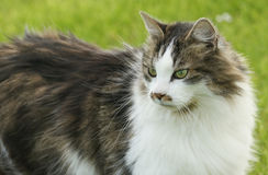 A head shot of a pretty Cat Felis catus. Royalty Free Stock Photos