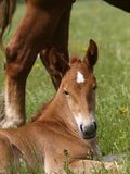 Cute Foal. A head shot of a pretty chestnut foal Royalty Free Stock Photography