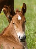 Cute Foal. A head shot of a pretty chestnut foal Royalty Free Stock Image