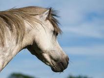 Head Shot of a Pretty Grey Pony Stock Photo