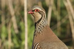 A head shot of a pretty Red-Legged Partridge, Alectoris rufa, searching for food in a field in the UK. A head shot of a Red-Legged Partridge, Alectoris rufa stock images