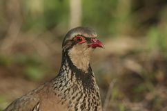 A head shot of a pretty Red-Legged Partridge, Alectoris rufa, searching for food in a field in the UK. A head shot of a Red-Legged Partridge, Alectoris rufa stock image
