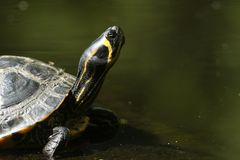 A head shot of a pretty Yellow-bellied Slider Trachemys scripta scripta or water Turtle standing on a log in the water in the UK royalty free stock photo