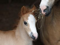 Pretty Foal Royalty Free Stock Image