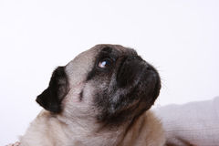 Head shot of a pug. Looking up and to one side Royalty Free Stock Photos