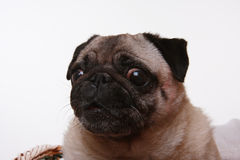 Head shot of a pug. Looking at the camera, isolated on white Stock Photo
