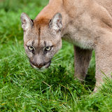 Head Shot of Puma with Beautiful Eyes Stock Photo