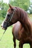 Head shot of a purebred arabian saddle horse Stock Photography